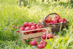 Red apples on green grass in orchard. Red apples on green grass in summer orchard royalty free stock image
