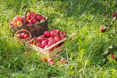 Red apples on green grass in orchard. Red apples on green grass in summer orchard stock photography