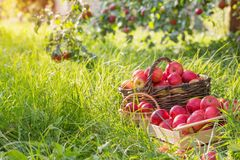 Red apples on green grass in orchard. Red apples on green grass in summer orchard stock images