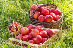 Red apples on green grass in orchard. Red apples on green grass in summer orchard royalty free stock photos