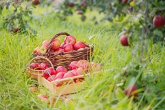 Apples on green grass in orchard. Red apples on green grass in summer orchard royalty free stock image