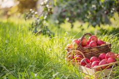 Apples on green grass in orchard. Red apples on green grass in summer orchard stock photos