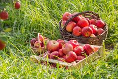Apples on green grass in orchard. Red apples on green grass in summer orchard stock images