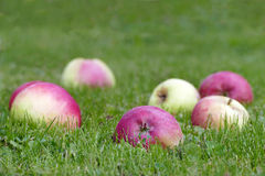 Red apples in green grass Royalty Free Stock Photography