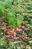 Red apples on the ground and raspberry leaves stock image