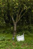 Red apples under an apple tree with bag stock image