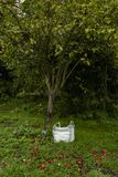 Red apples under an apple tree with bag stock photo