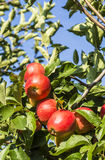 Red apples grow on a branch against blue sky Royalty Free Stock Images