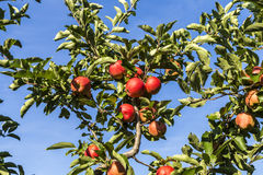 Red apples grow on a branch against blue sky Stock Images