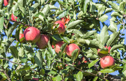 Red apples grow on a branch against blue sky Stock Image