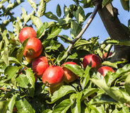 Red apples grow on a branch against blue sky Royalty Free Stock Image
