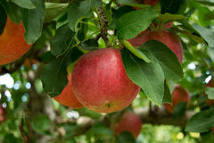 Red Apples growing on an Apple Tree stock image