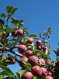 Red Apples Growing on a Tree Royalty Free Stock Images