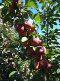 Red Apples Growing on a Tree Stock Images
