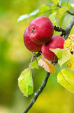 Red apples growing on tree. Red apples growing on apple tree branch. Natural green and yellow background Stock Photos