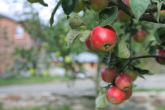 Red apples grows on branch in garden near house Royalty Free Stock Images