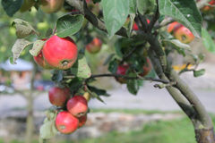 Red apples grows on branch in garden near house Royalty Free Stock Image