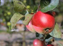 Red apples grows on branch in garden near house Stock Photo