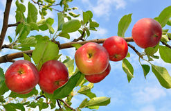 Red apples grows on a branch Stock Images