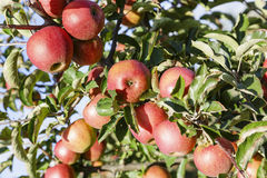 Red apples hanging bountifully Royalty Free Stock Photography