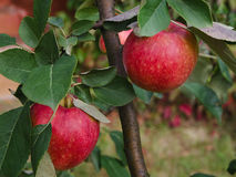 Red apples hanging on a branch. Two red apples, branch and leafs of the apple tree can be seen Stock Photos