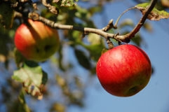Red apples hanging from tree.  Stock Images