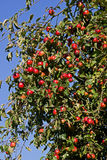 Red apples in the late summer Stock Photography