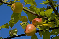 Red apples in the late summer Stock Image