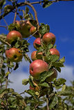 Red apples in the late summer Royalty Free Stock Image