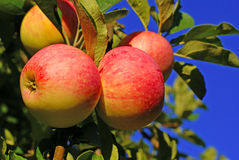 Red apples and leaves. On blue sky Royalty Free Stock Photos