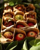 Red apples with leaves in crate in sunlight. Autumn harvest. stock photography