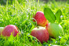 Red  apples lie on a green grass Royalty Free Stock Image