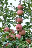 Red apples. Many red apples in tree Royalty Free Stock Photography