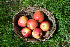 Red apples in an old basket. Green grass around. Royalty Free Stock Image