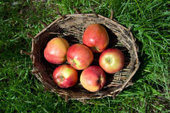 Red apples in an old basket. Green grass around. Royalty Free Stock Images
