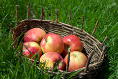 Red apples in an old basket. Green grass around. Royalty Free Stock Photos
