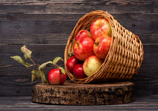 Red apples in old basket. Ripe red apples in basket. Still Life Royalty Free Stock Image