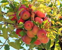 Red Apples On Tree Stock Photography
