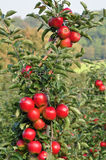 Red Apples in Orchard Royalty Free Stock Photo
