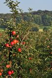 Red Apples in Orchard Stock Photography