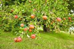 Red apples on the orchard Royalty Free Stock Photo