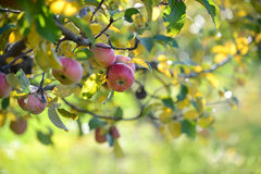 Red Apples In Orchard Stock Photos