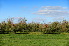 Red Apples in Orchard Before Harvest Royalty Free Stock Photo