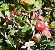 Red apples in orchard Stock Photo