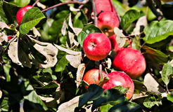 Red apples in orchard Royalty Free Stock Images