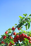 Red apples on the tree with blue sky Stock Photos