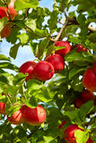 Red apples  in the orchard Royalty Free Stock Image