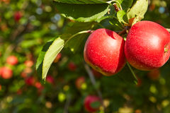 Red apples  in the orchard Royalty Free Stock Photos