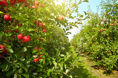Red apples  in the orchard Stock Images