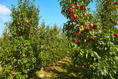 Red apples  in the orchard Royalty Free Stock Images